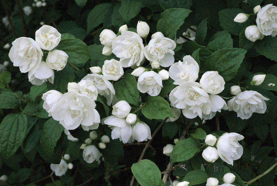 10 best shrubs with white flowers white flowers of the mock orange shrub mightylinksfo