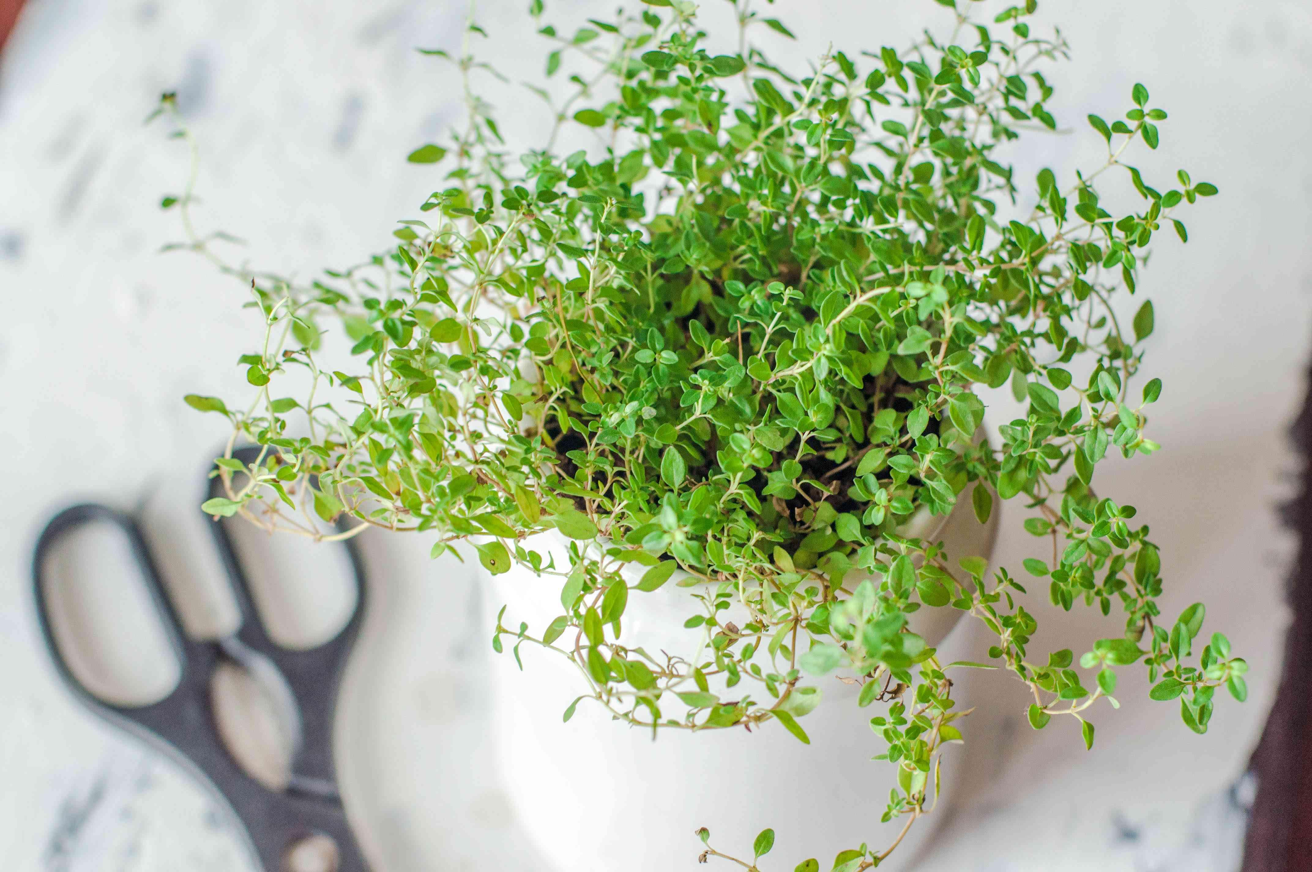 Planta de tomillo en una maceta blanca