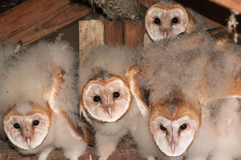 Nestling Barn Owls