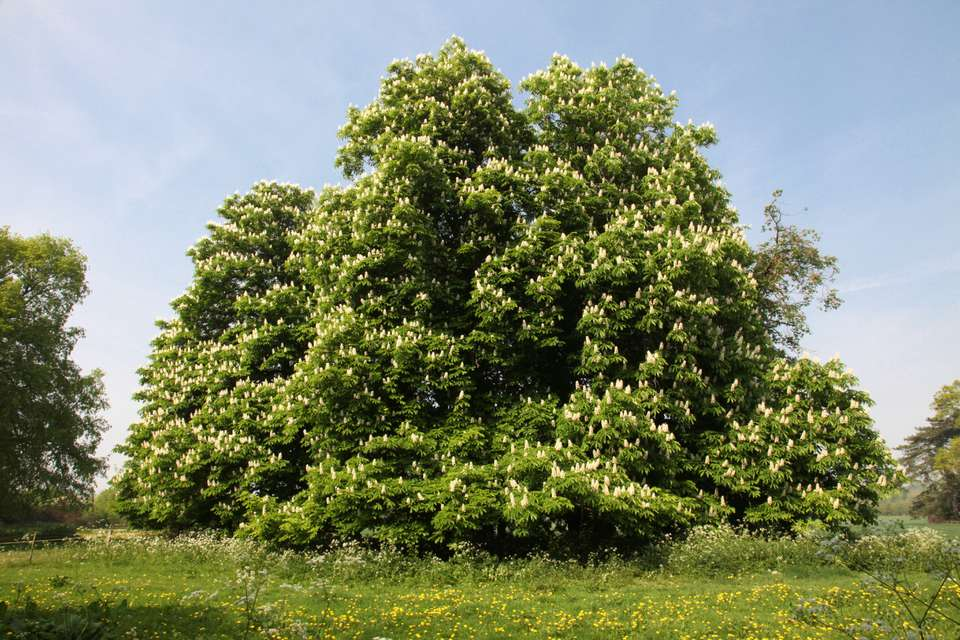 Horse Chestnut Tree in Spring