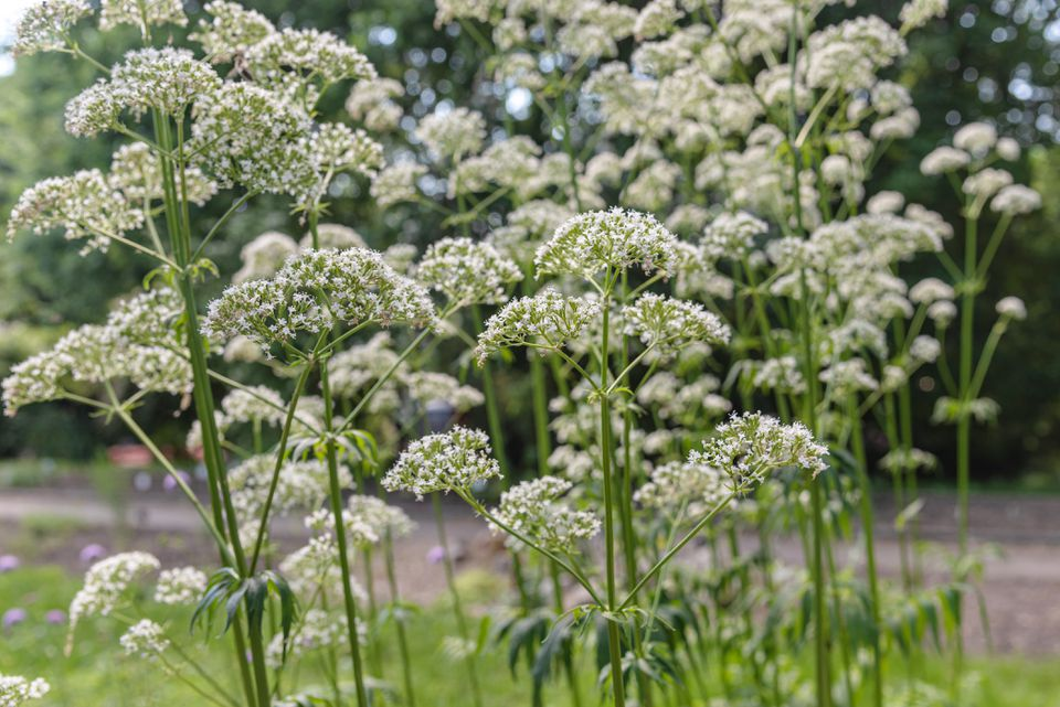 Valerian plant with small white flower clusters on thin flower stalks