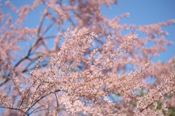 Tamarisk tree branches with small pink flowers against blue sky