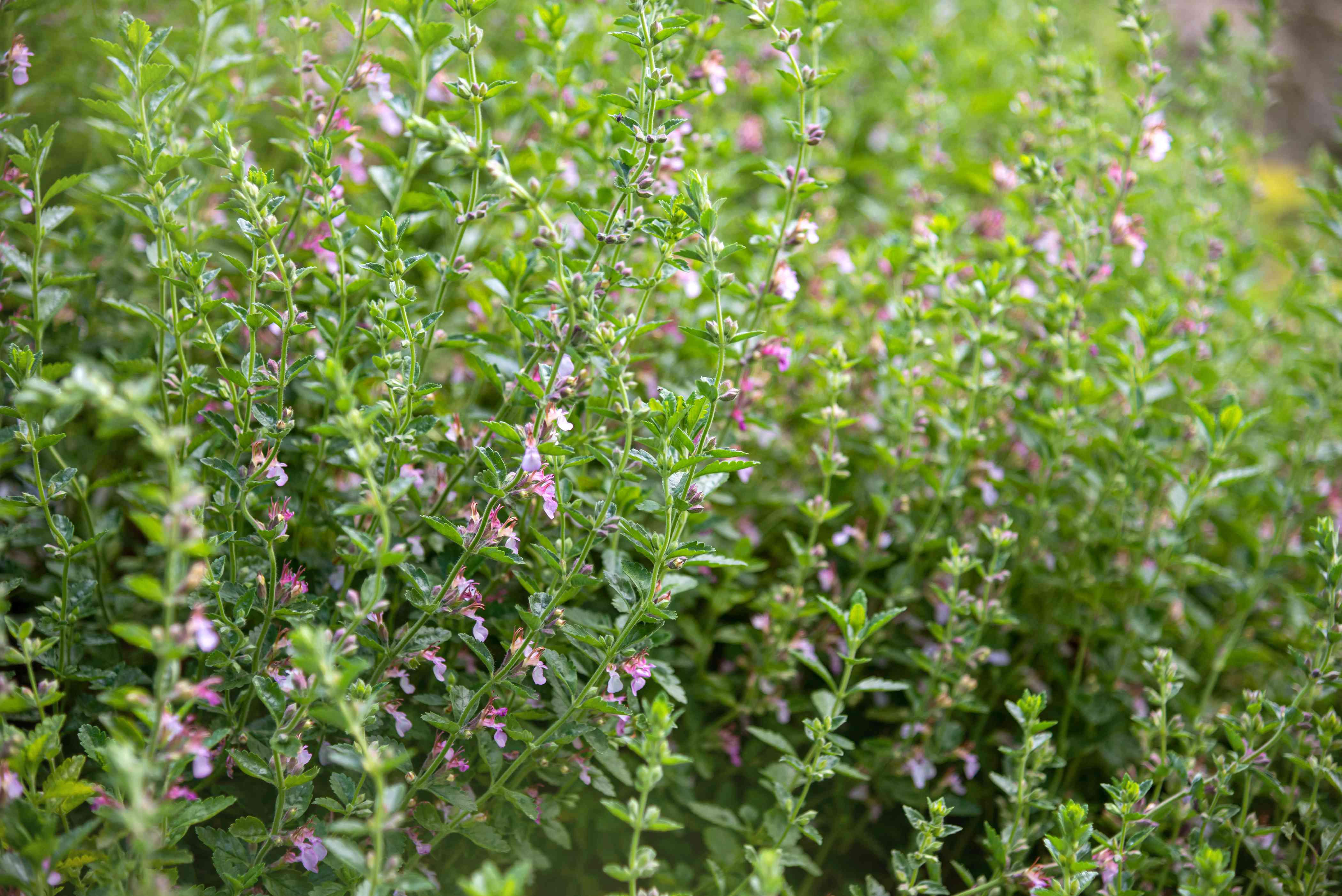 Wall germander plant with thin stems, tiny light purple flowers and small tooth edged leaves