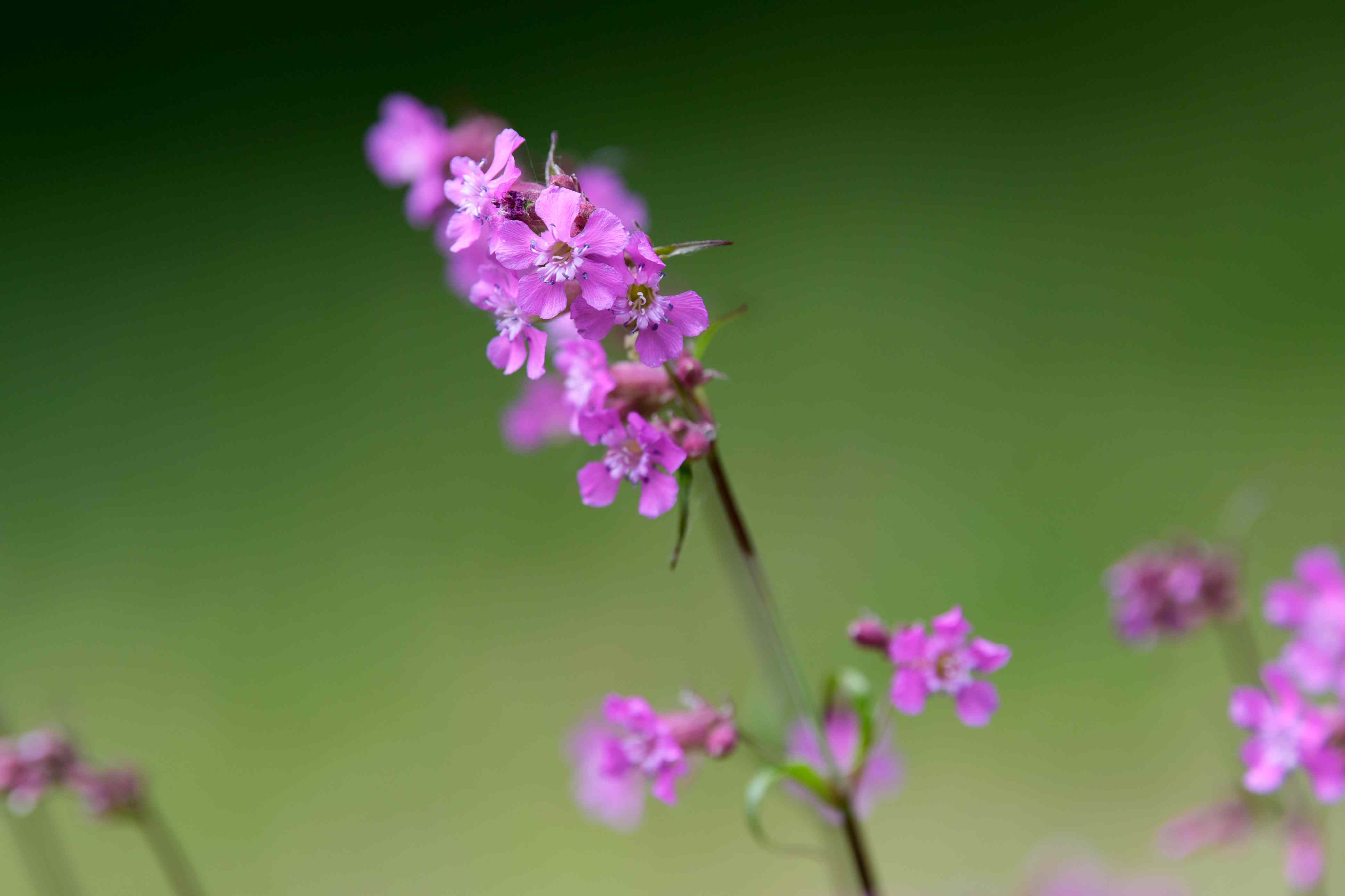 Silene viscaria plant stems with small pink flowers closeup