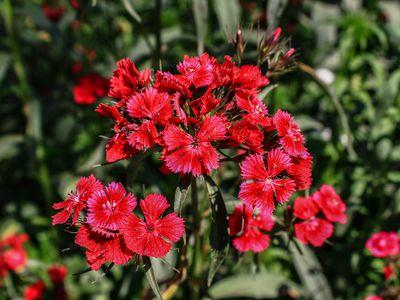 Red Dianthus flower