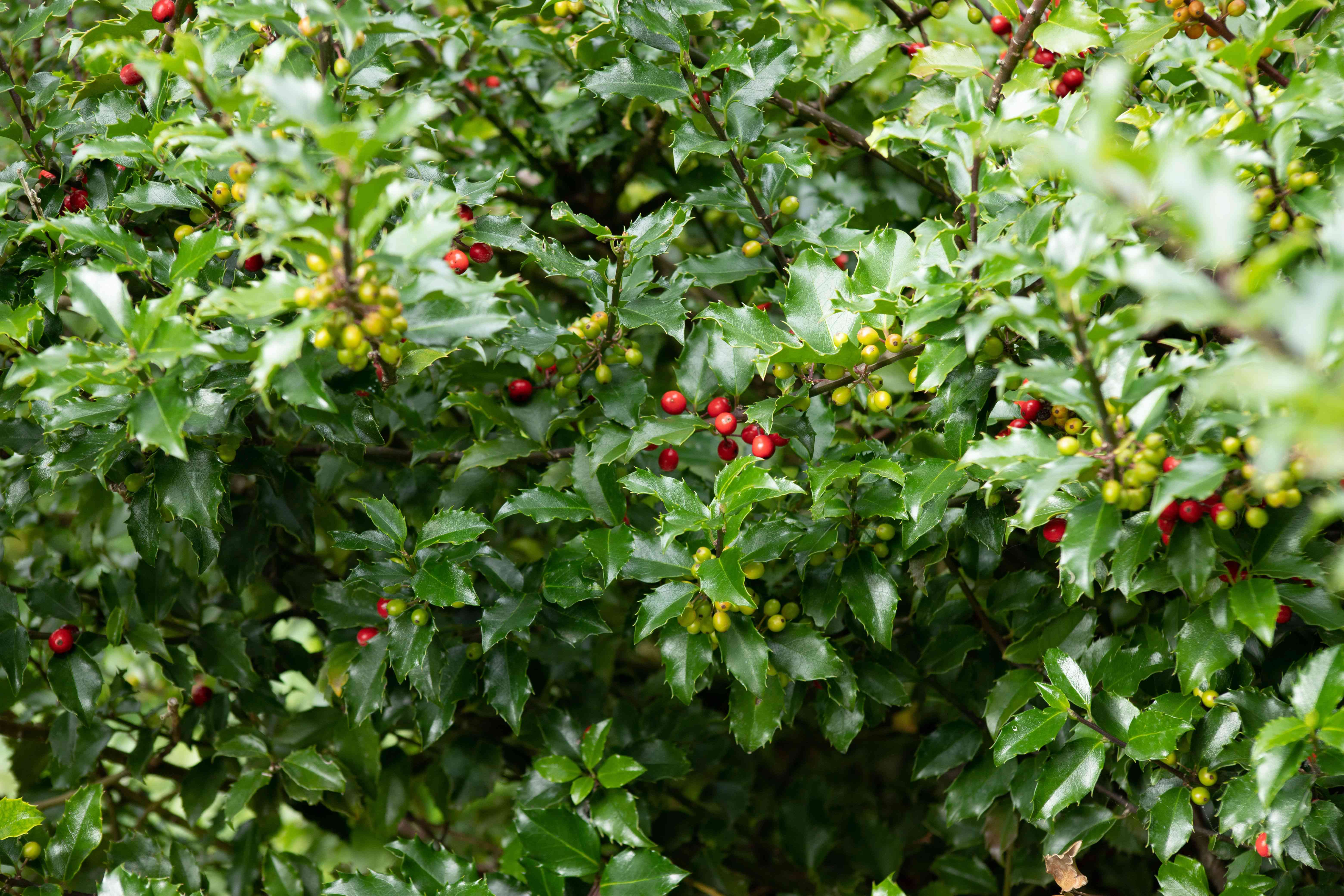 English holly bush with red and light green berries hanging on branches with waxy green leaves