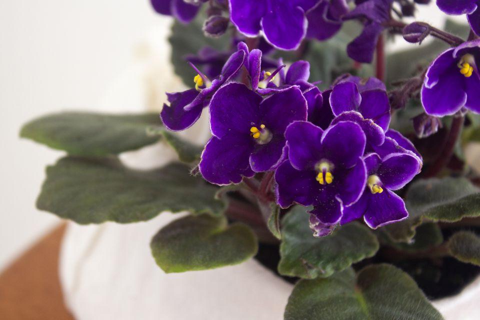 African violet closeup