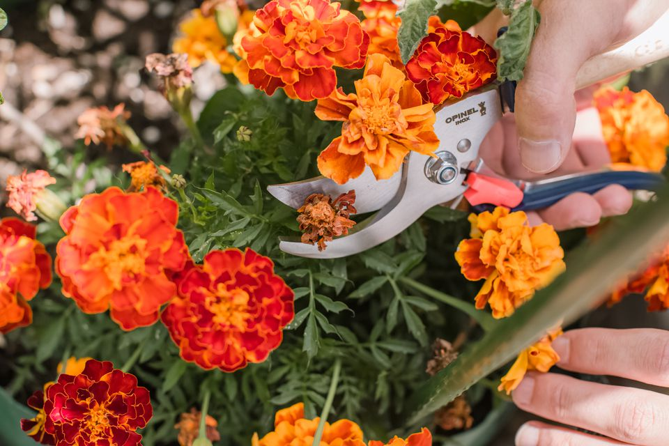 gardener deadheading flowers