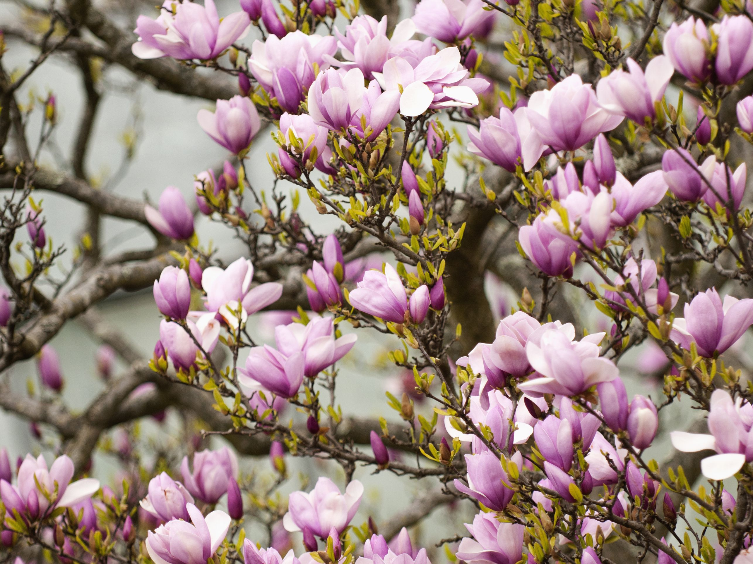 How To Grow Potted Magnolia Trees