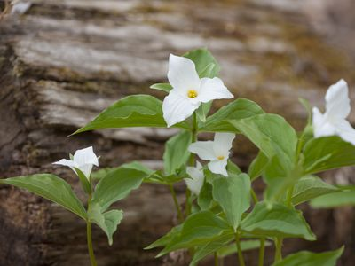 16 plants that smell best at night growing trillium plants in a woodland garden mightylinksfo