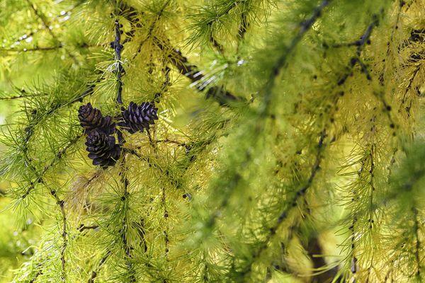 Pinecones among multicolored pine needles