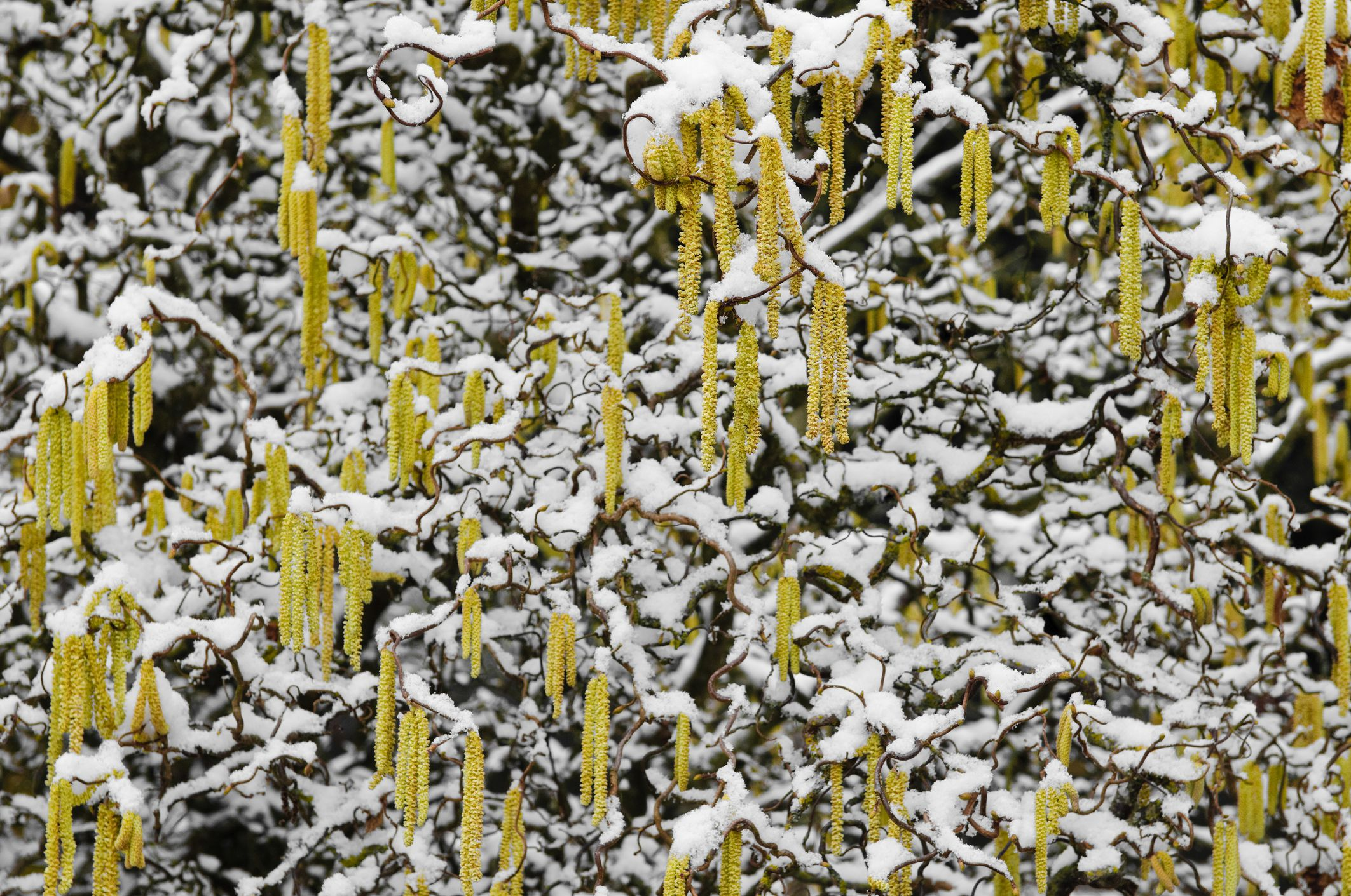 Contorted filbert dwarf tree with catkins covered in snow.