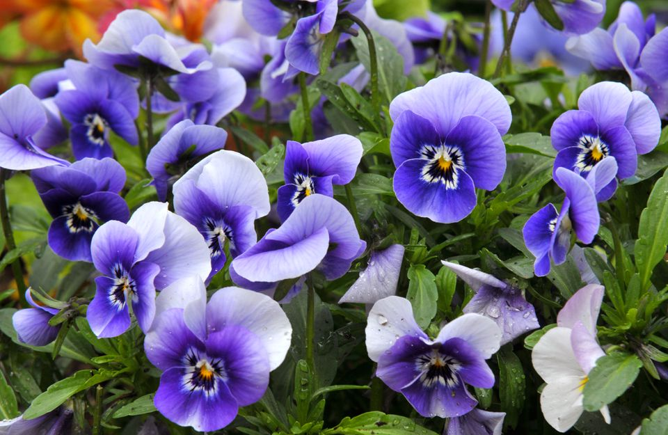 Pansy flowers with purple and white petals in leaves closeup