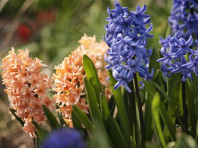 6d0d21c3c Growing and Caring for Fragrant Spring Hyacinth Bulbs