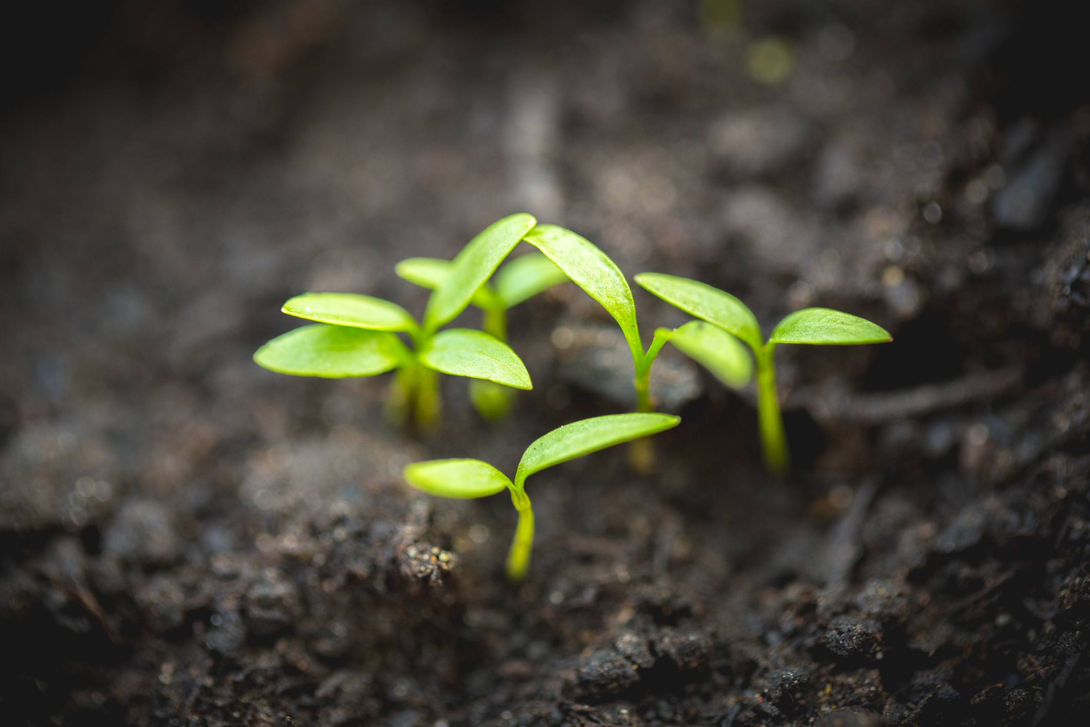 Tiny green sprouts growing in black dirt