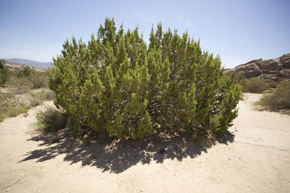 California Juniper in a desert setting