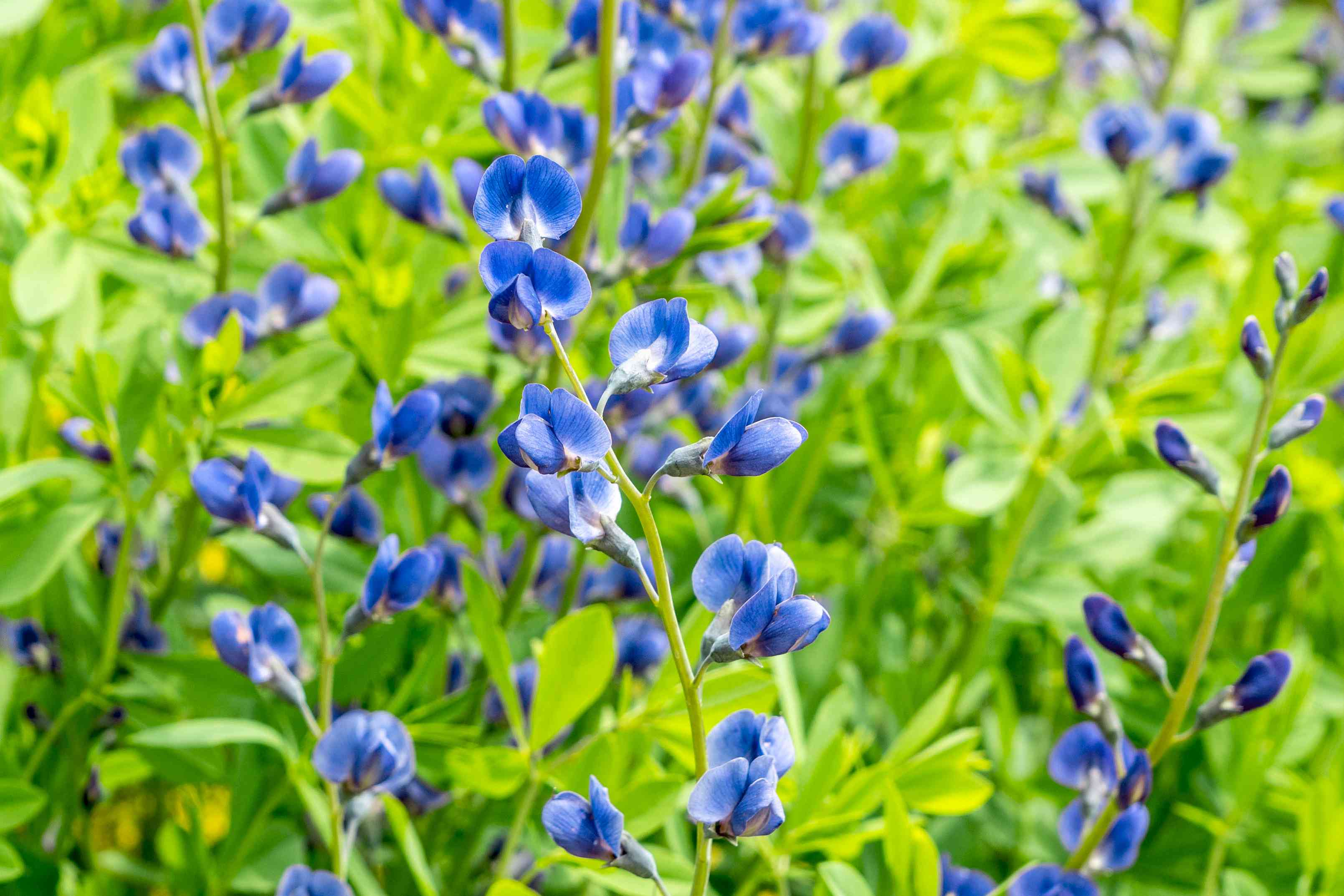False indigo with deep blue flowers on thin stems with bright green leaves