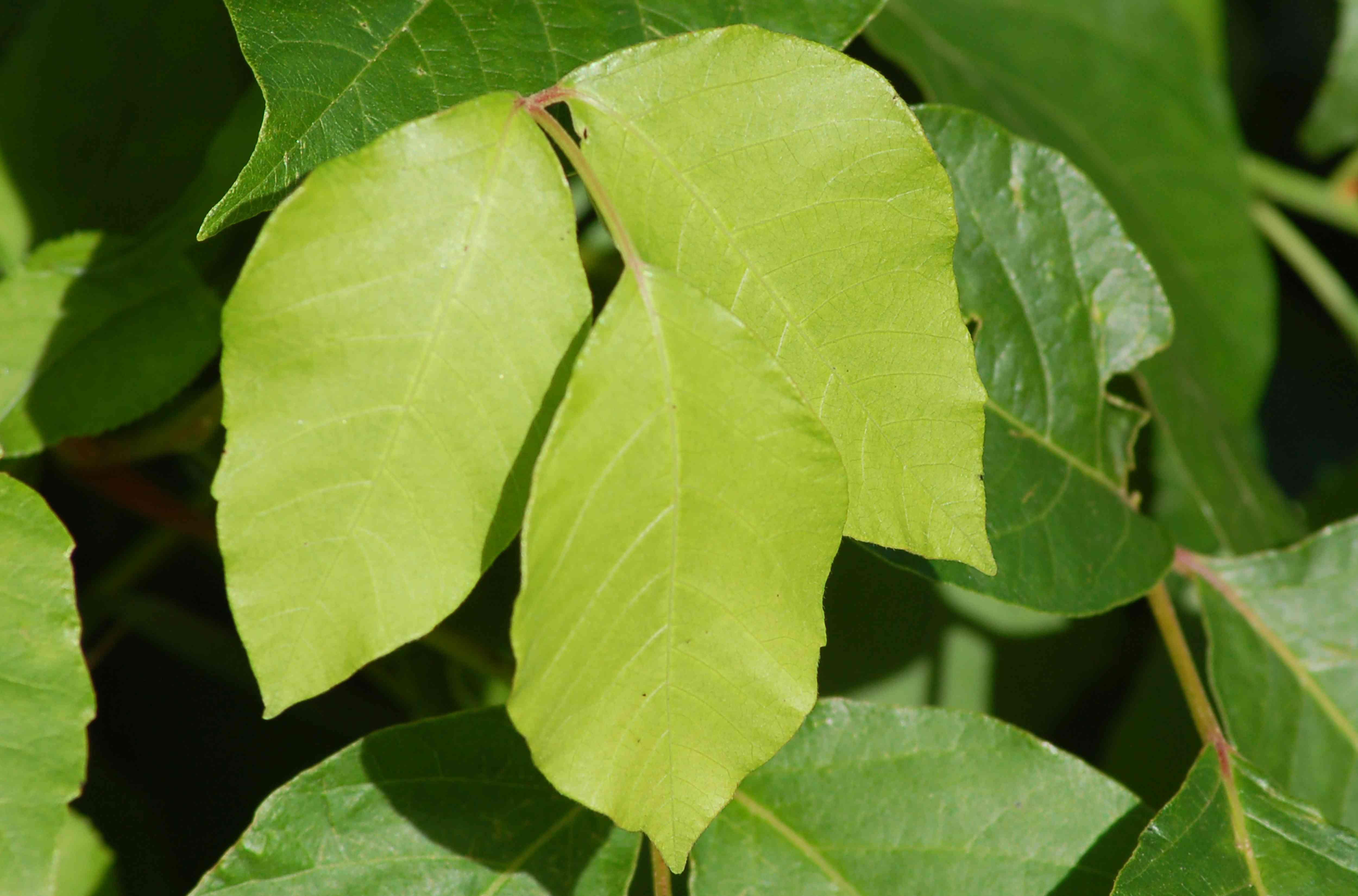 Poison ivy leaf with its three leaflets.