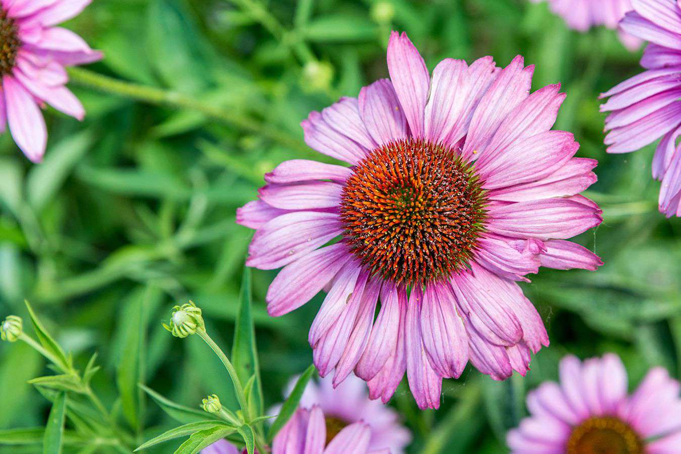 Purple coneflower with light pink radiating petals with spiny center cone bloom closeup