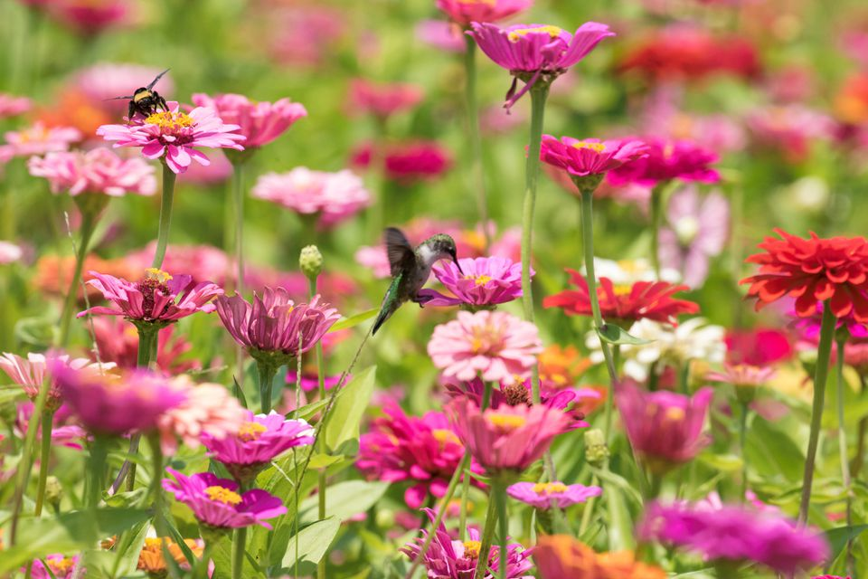 Hummingbird and Colorful Vibrant Pink Zinnia Flowers in the Garden