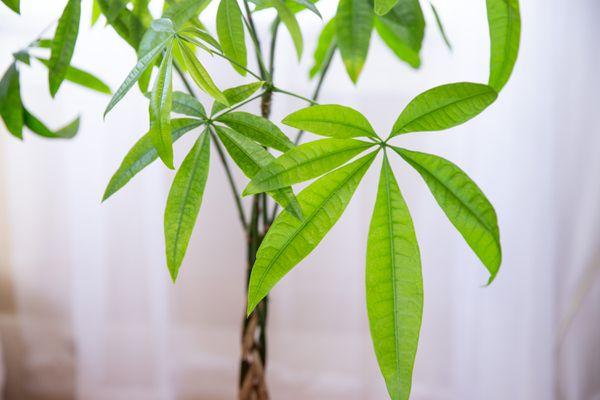 closeup of a money plant