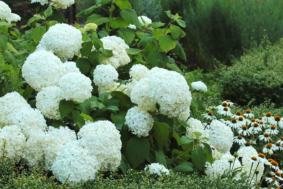 16 plants with big flowers hydrangea white hydrangea mightylinksfo