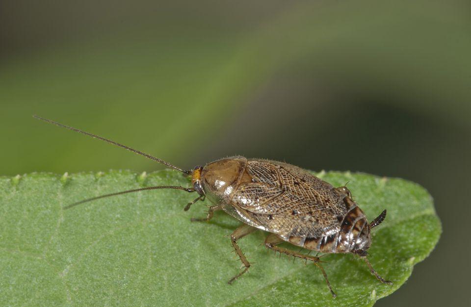 A European cockroach on a leaf