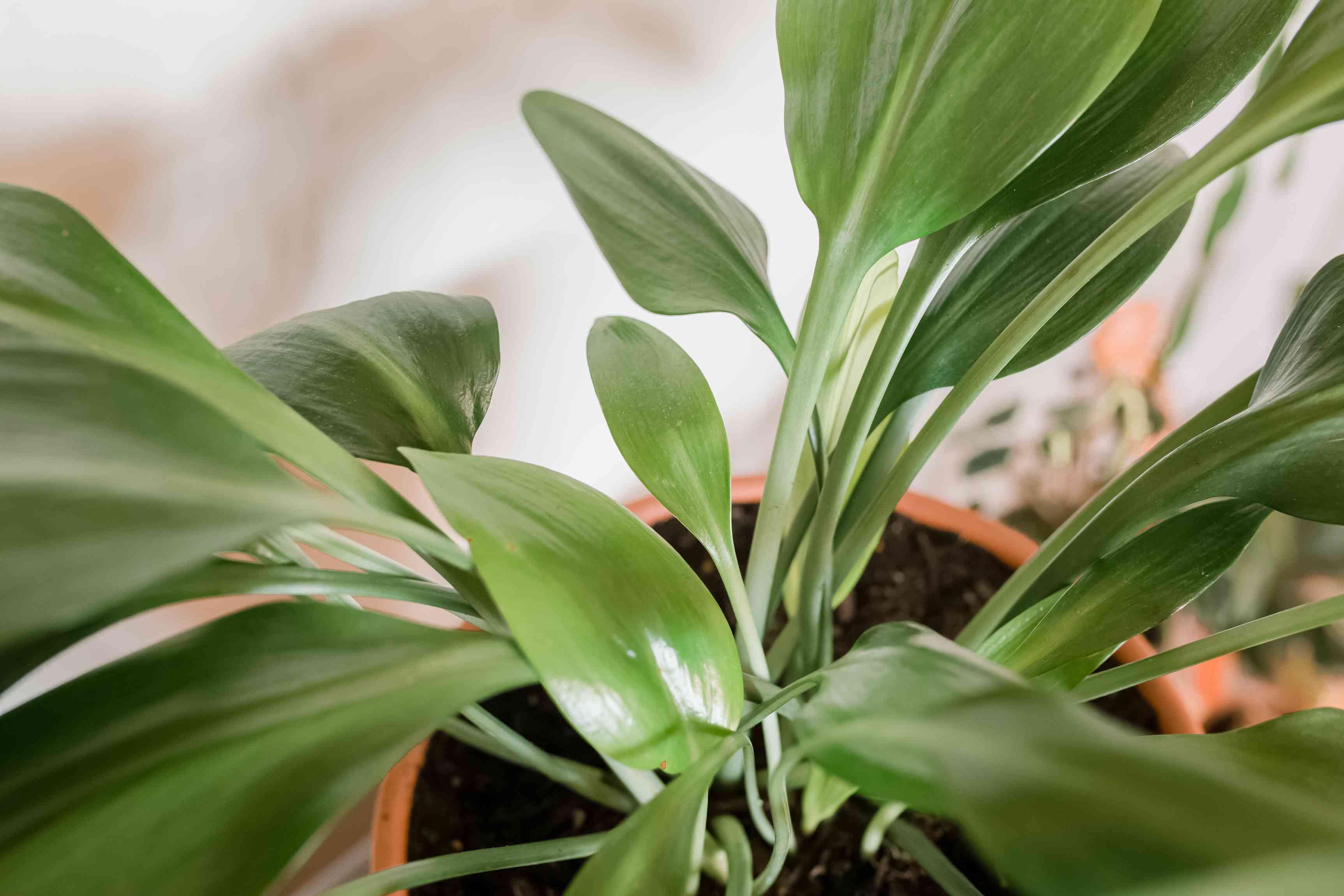 cast iron plant leaves