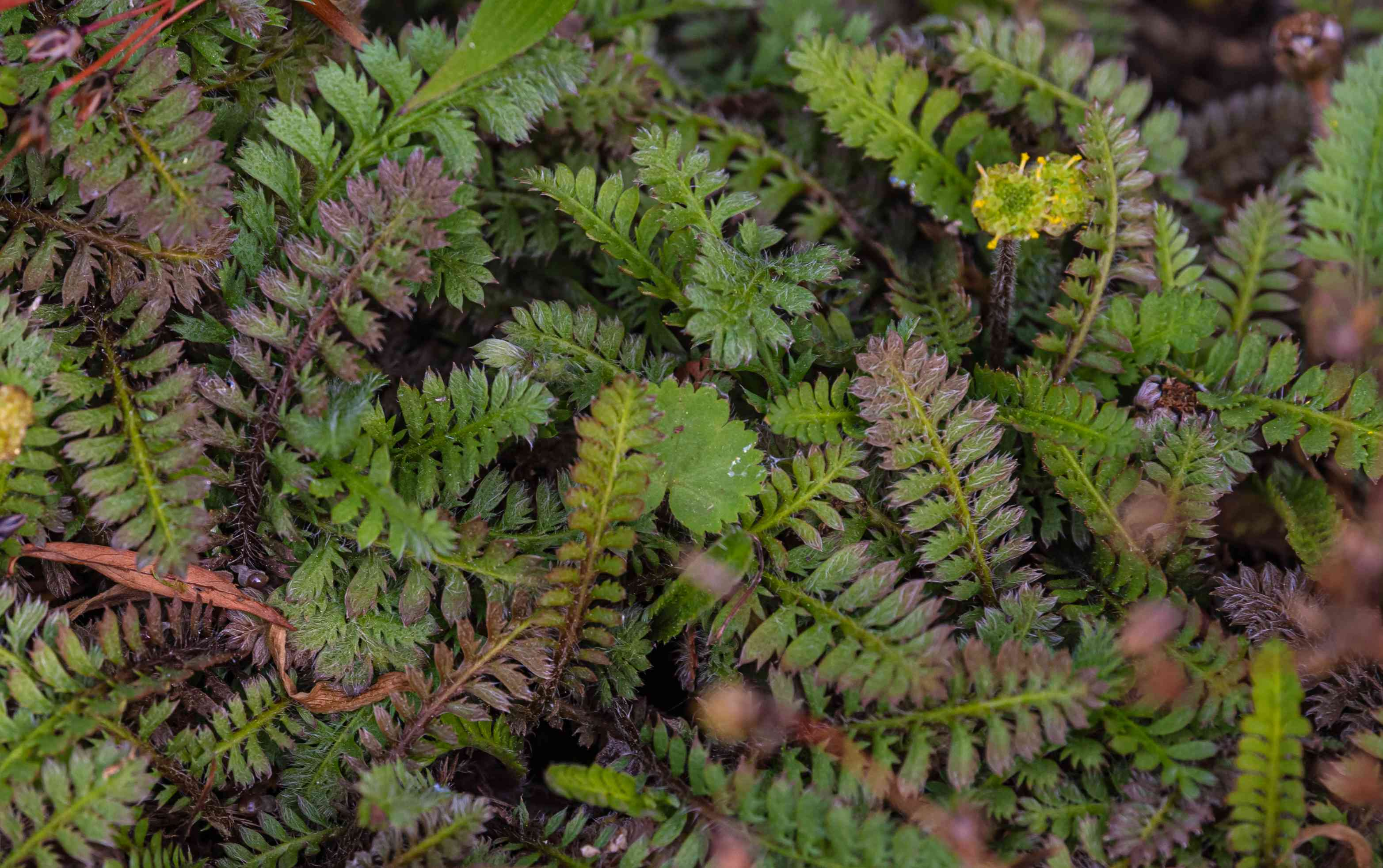 Brass button plants with green fern-like foliage with purple tips closeup