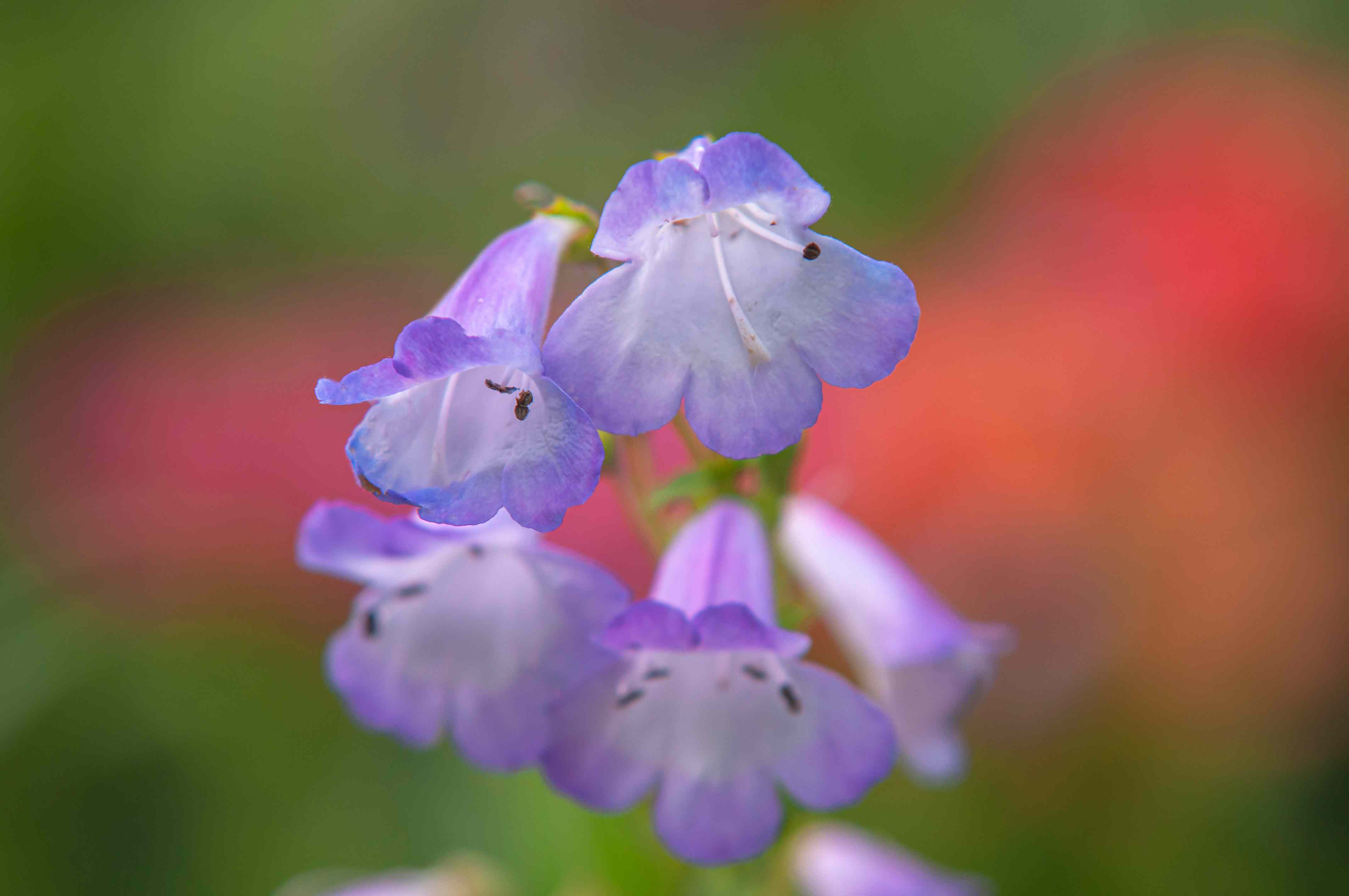 Light purple beardtongue flowers closeup