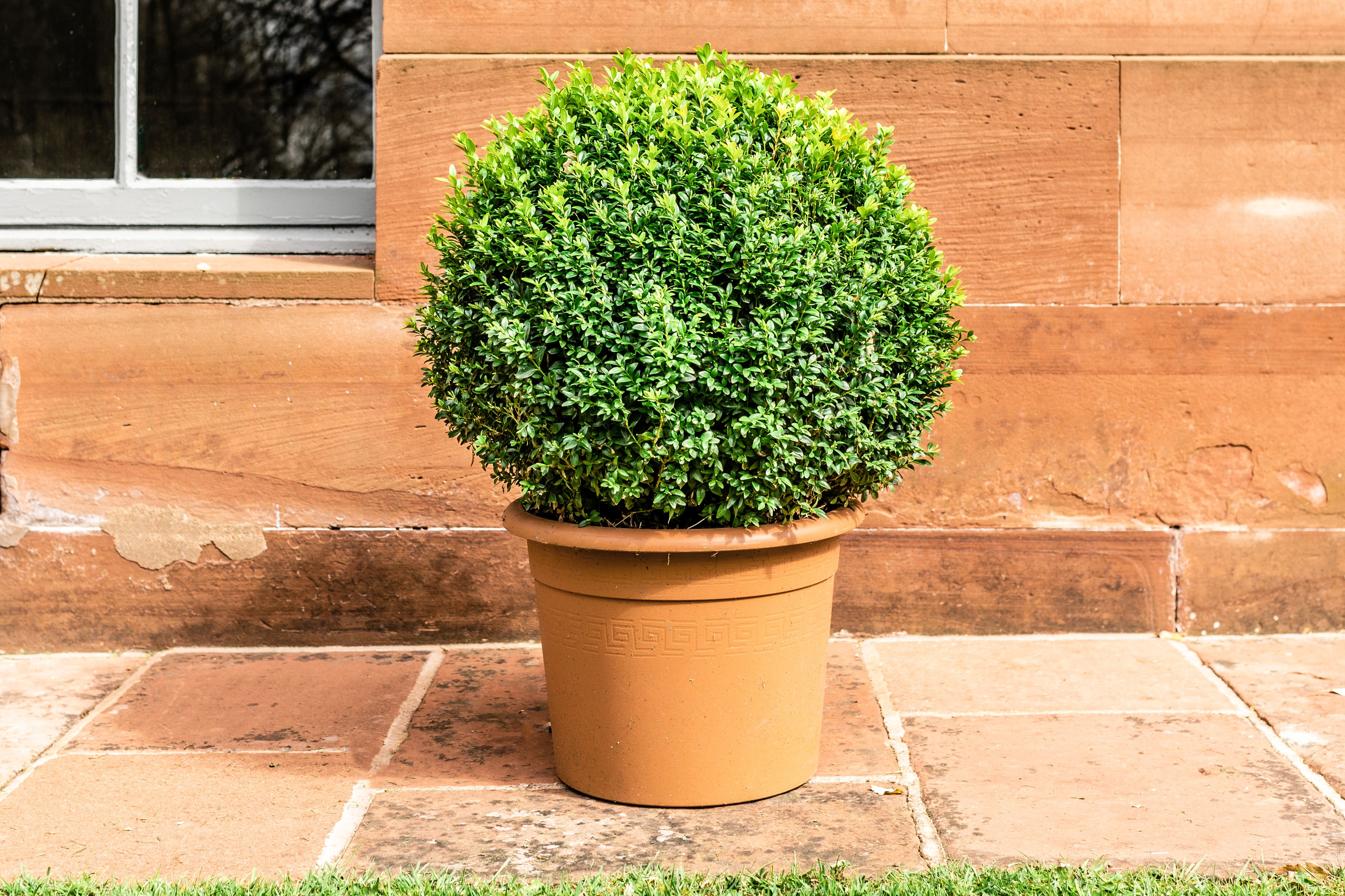 How To Grow And Care For Boxwood Box Shrubs