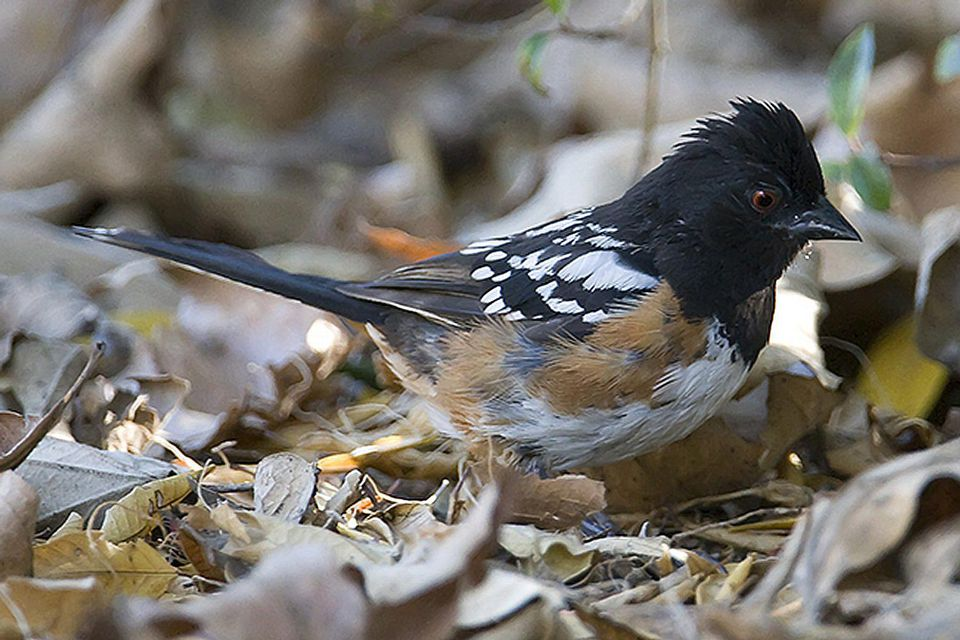 Spotted Towhee in Leaves