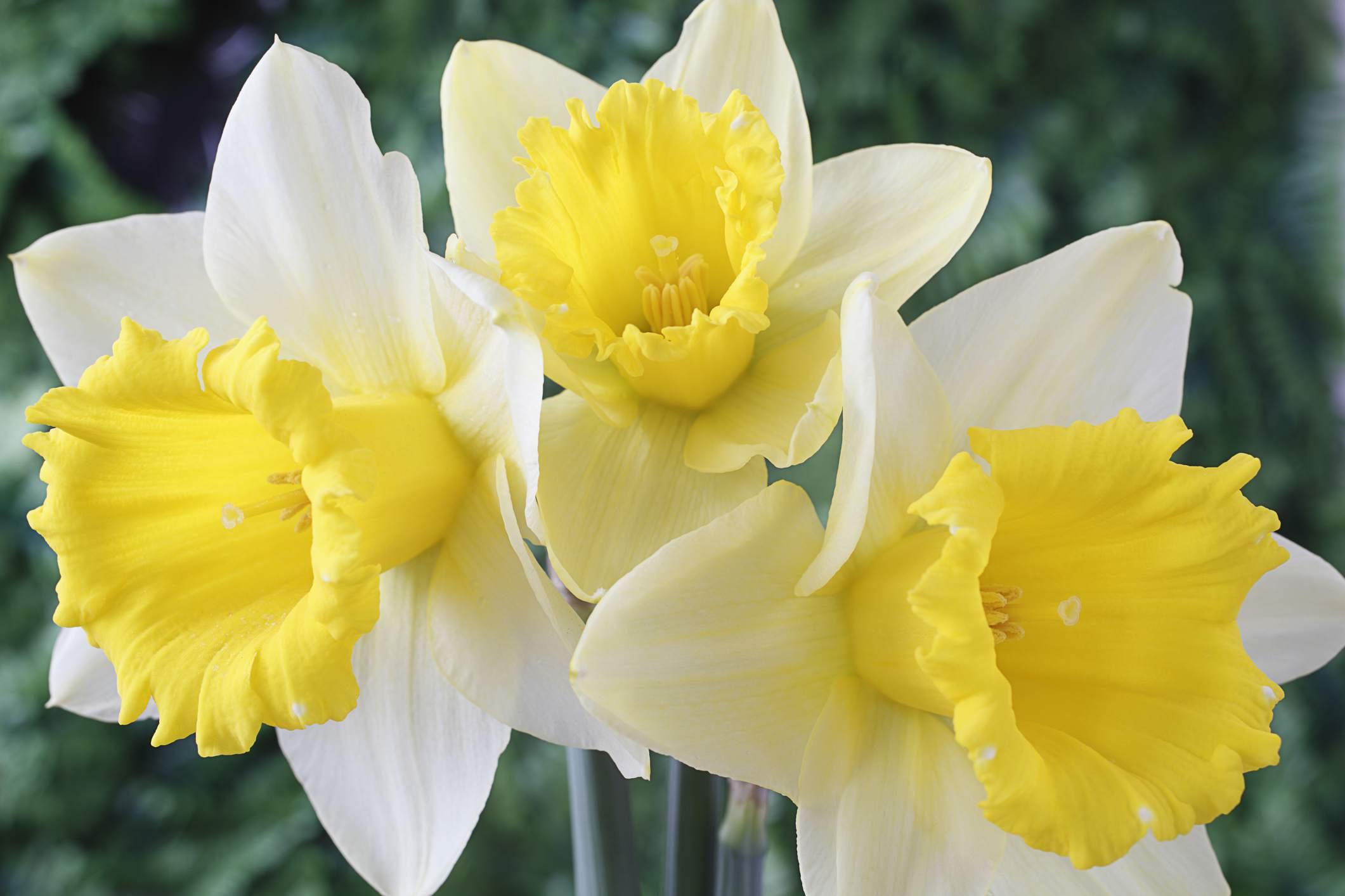 Crewenna Daffodil