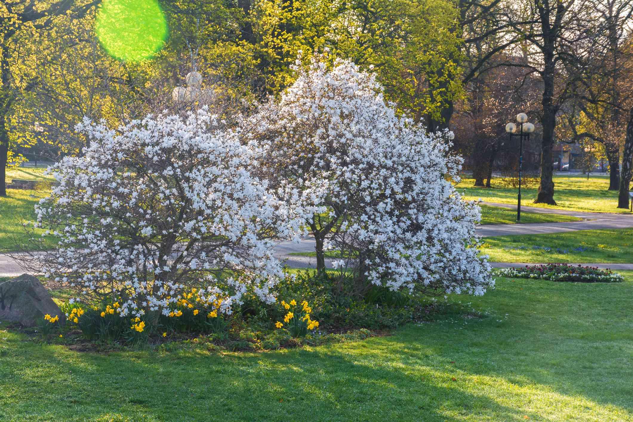 Wada's memory magnolia variety