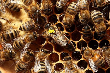 How To Requeen A Honey Bee Hive