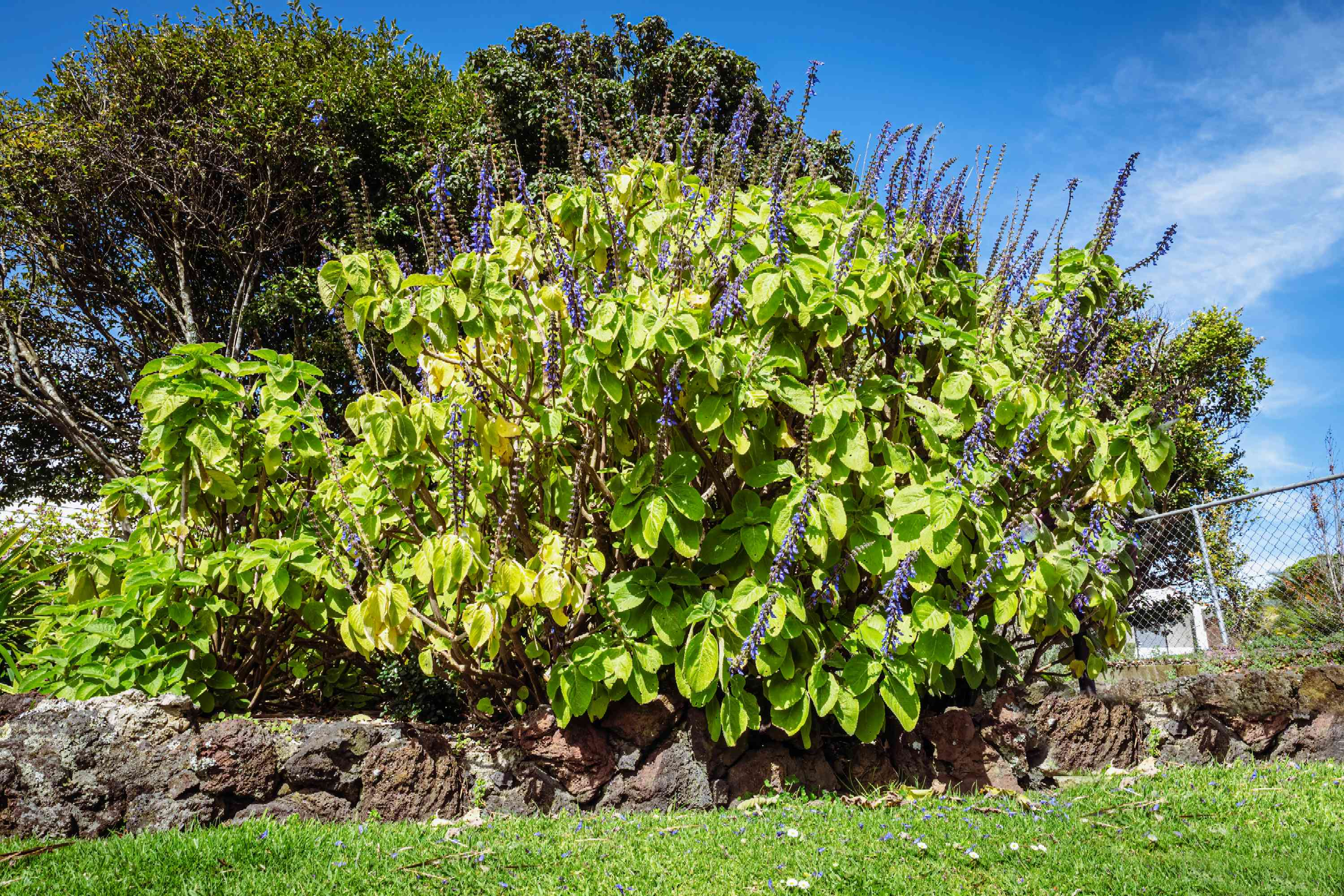 Blue spur flowers with large bushy foliage and blue-purple flower stalks behind rock wall in sunlight