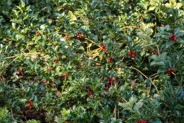 'Blue Princess' holly shrub with glossy leaved branches and bright red berries in partial sunlight