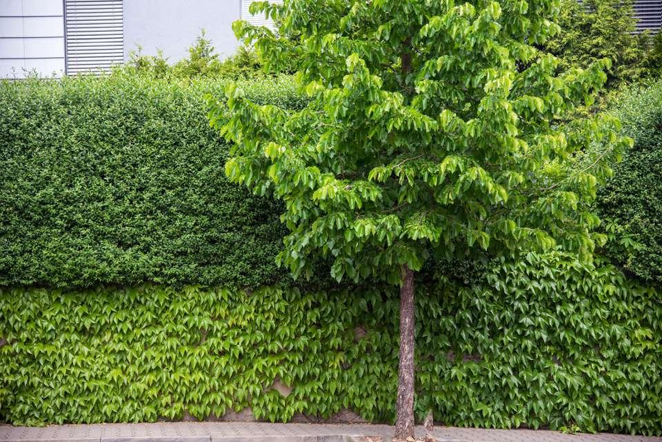 Beaked hazelnut shrub hedge trimmed for privacy behind tree