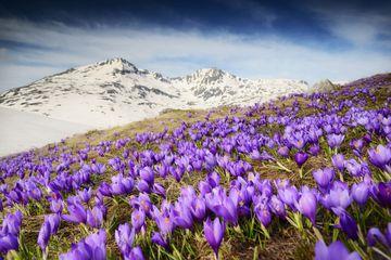 Purple crocuses blooming in the snowy mountains.