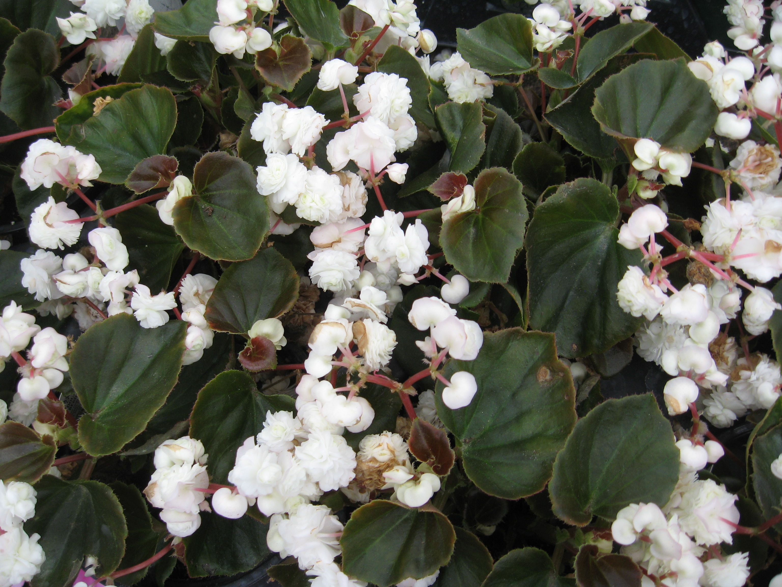 Dozens of double wax begonia plants combined together.