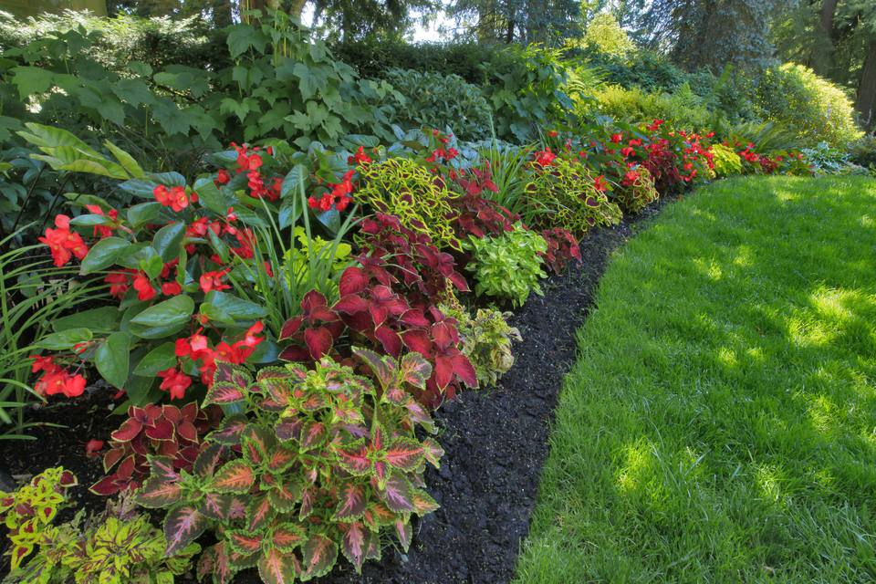 Garden of coleus (Plectranthus scutellarioides) and wax begonias (Begoniaceae) at Pittock Mansion, Portland, Oregon, USA