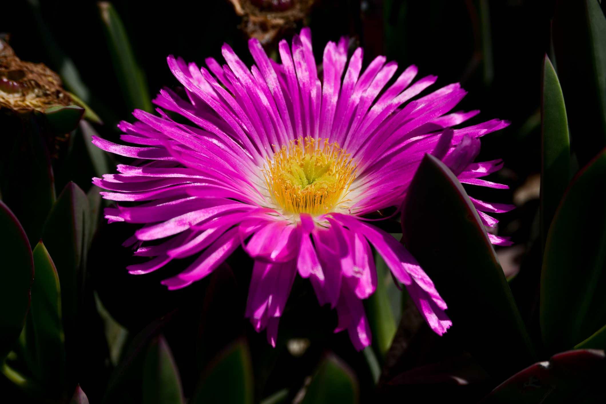 close-up of purple ice plant