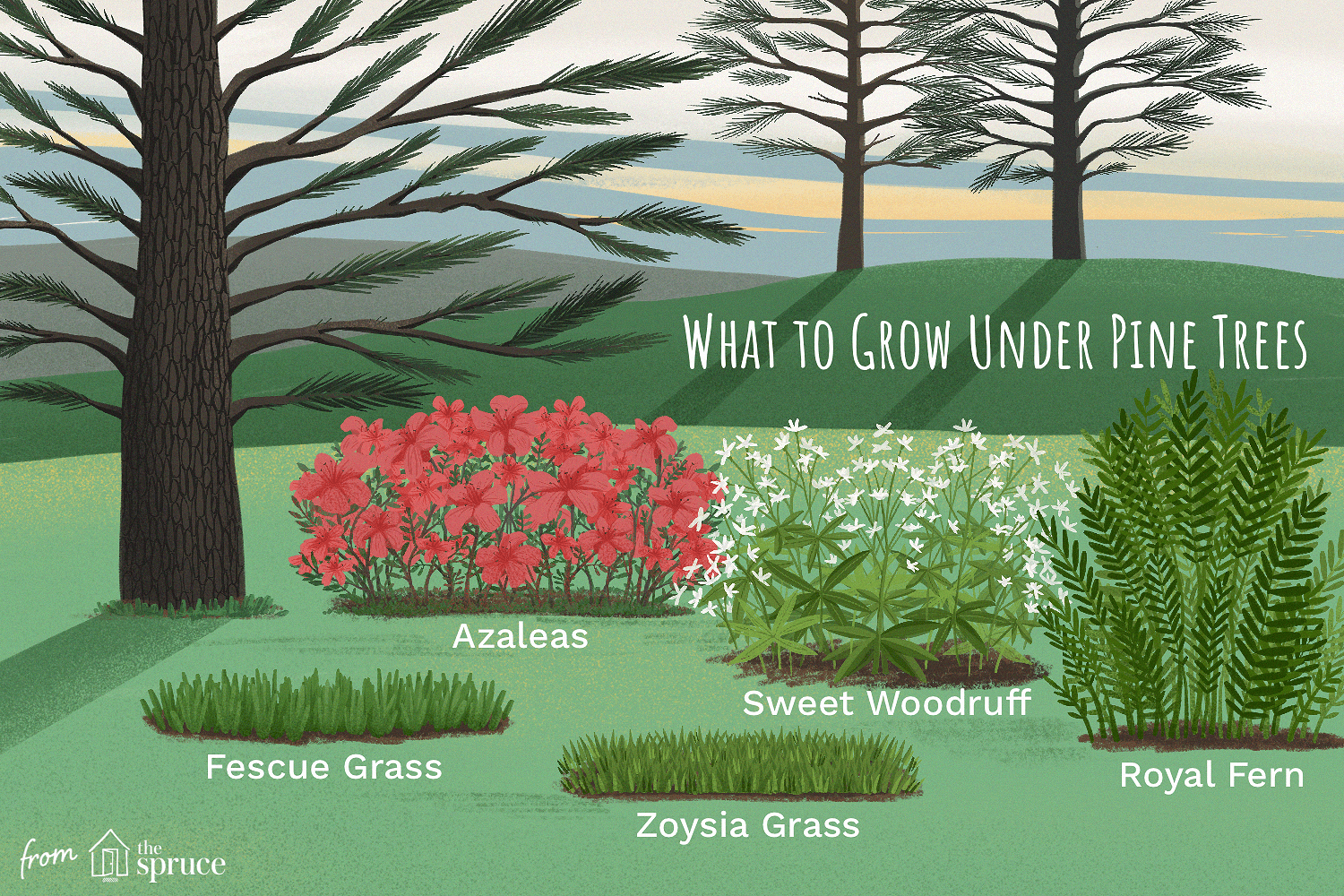 Types of grass under pine trees