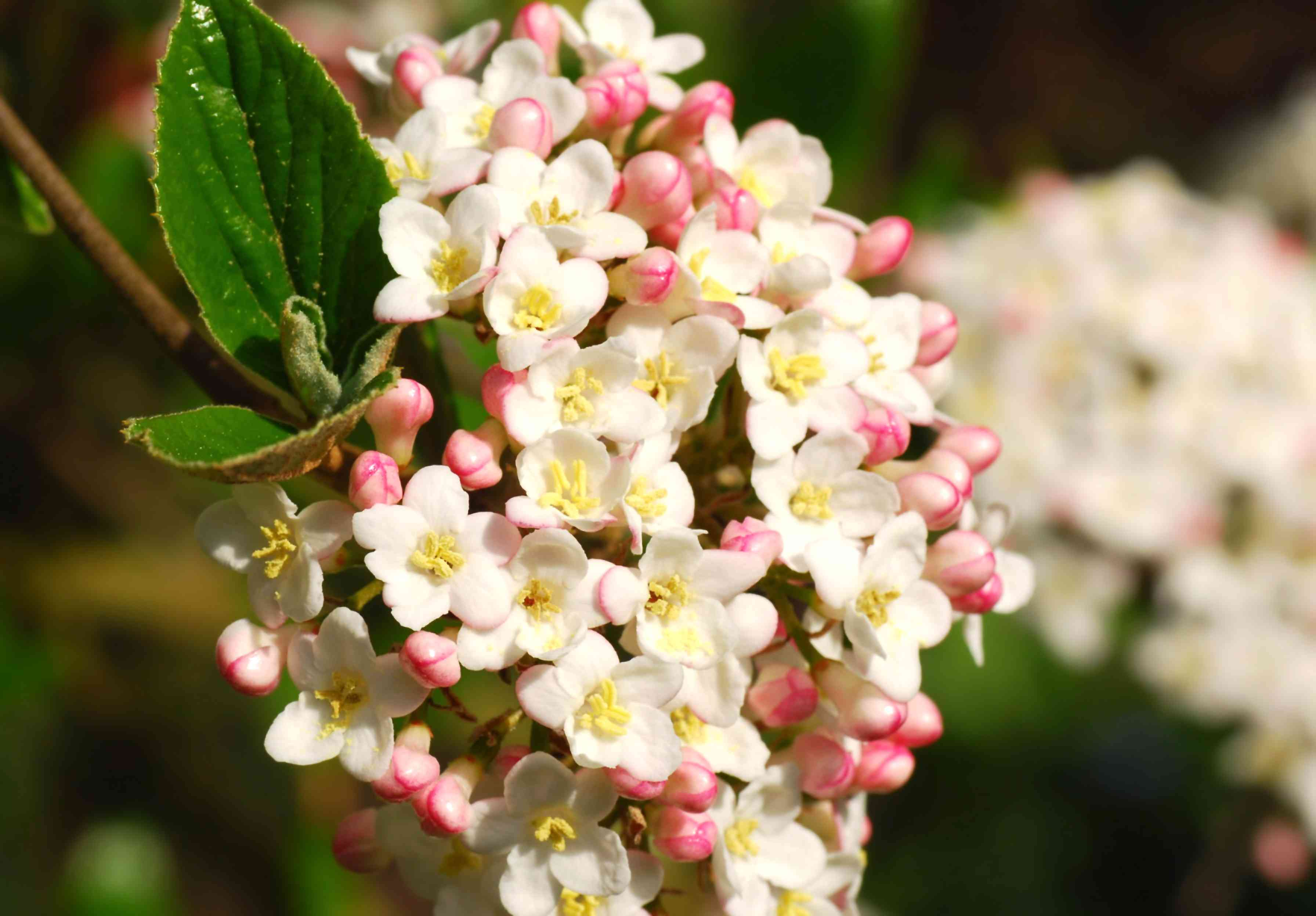 Blooming viburnum x burkwoodii.j.