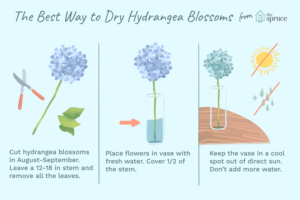 Best way to dry hydrangea flowers