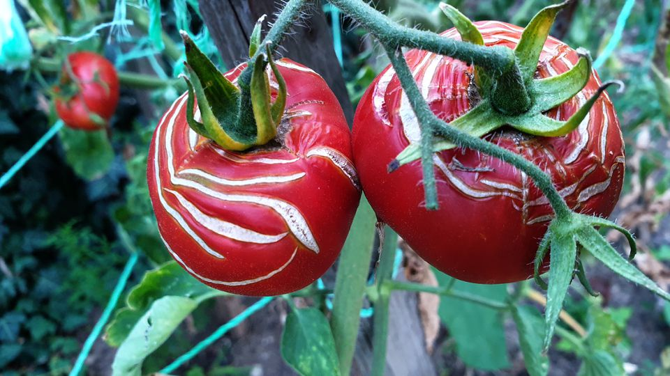 Top view of growing ripe red tomatoes with cracked surface