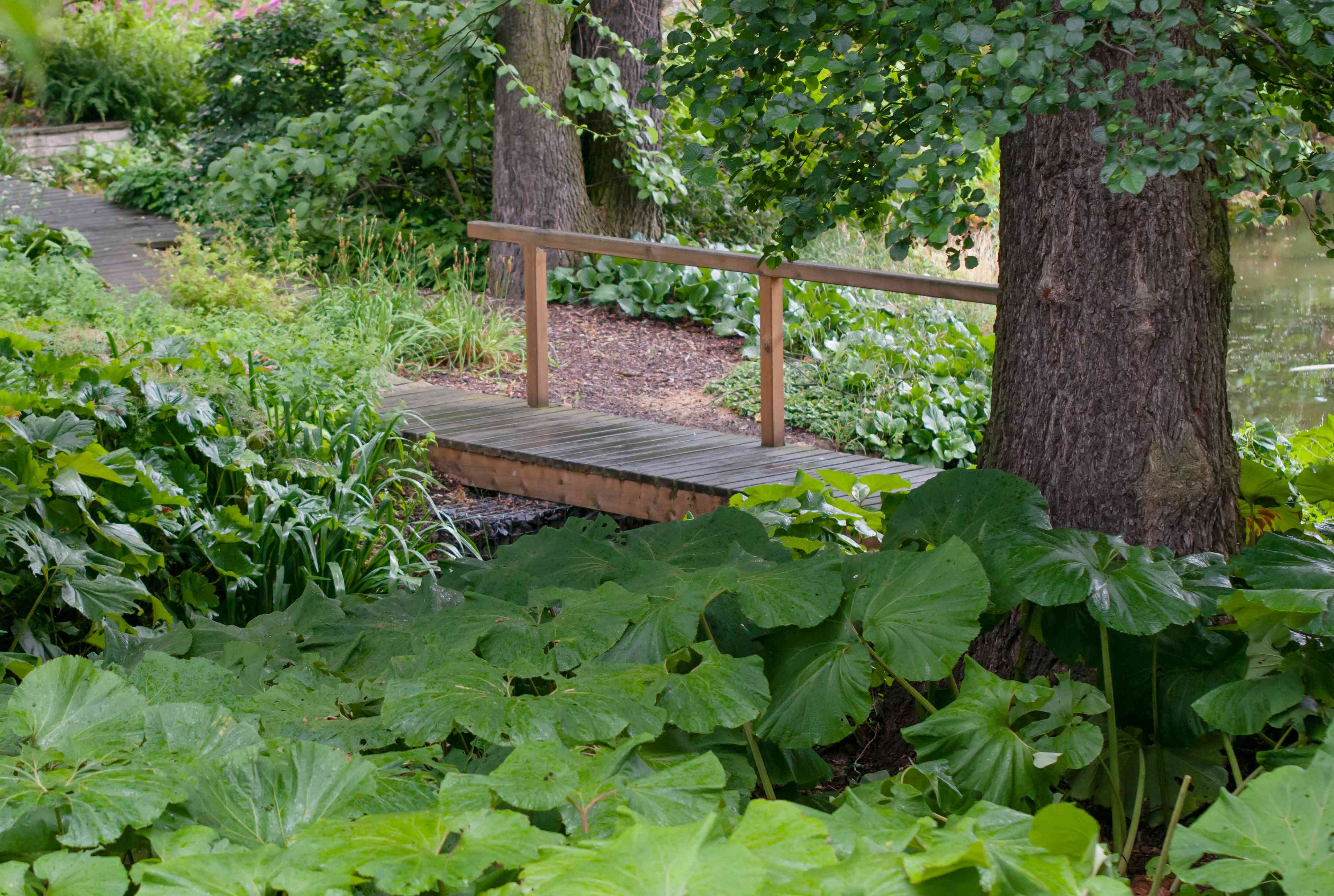 Common butterbur plants with large round leaves at base of tree trunk next to walkway