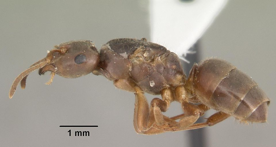Profile view of ant Lasius alienus specimen