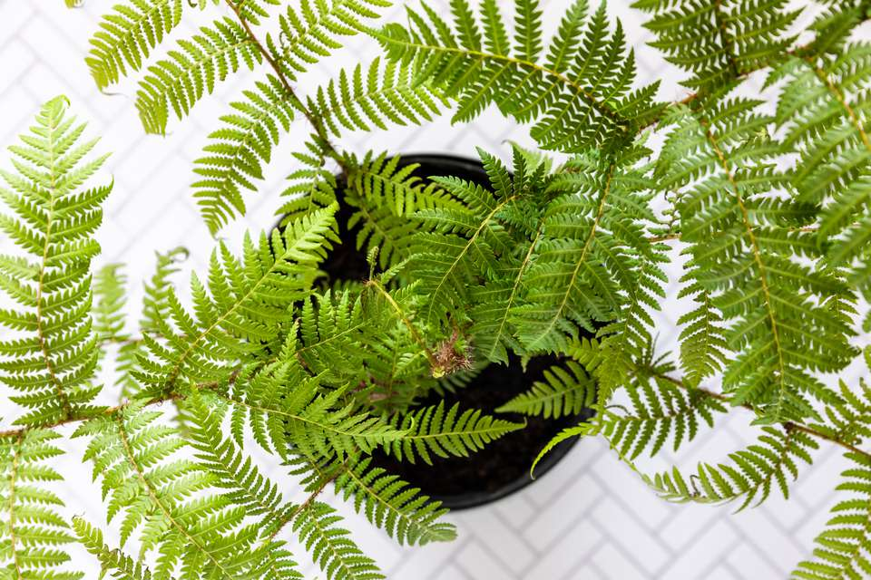 Australian tree fern with lacy and feathery fronds planted in black pot from above