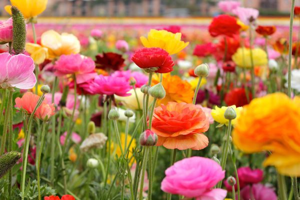 Field of assorted buttercup (Ranunculus) flower species